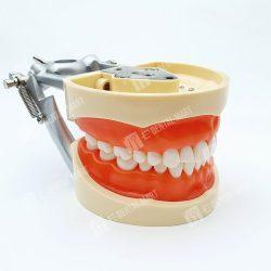 Phantom Teeth Jaw, Practice Teeth Jaw, Buy Phantom Teeth Jaw, Phantom Teeth Jaw Price, Buy Phantom Teeth Jaw Online in Pakistan, Buy Practice Teeth Jaw Online in Pakistan